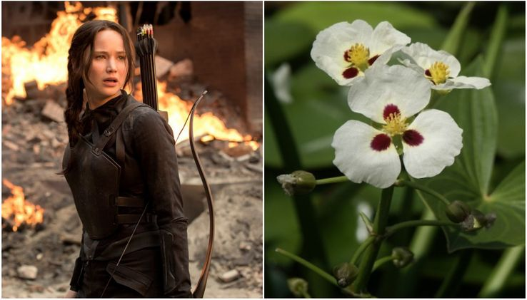 Katniss Plant Meaning
